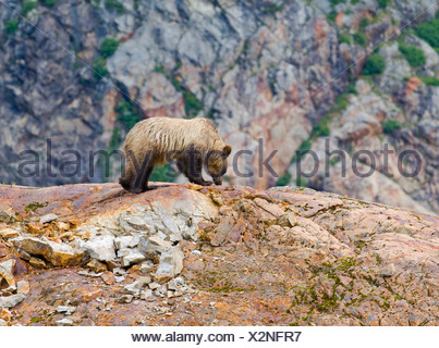 Young female Grizzly bear (Ursus arctos horribilis) on top of a rock formation called a Roche Moutonnee created by passing of a - Stock Photo