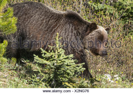 Grizzly Bear Female (Ursus arctos horribilis) Full body shot of female grizzy  walking thru the woods, showing distinct hump. Smith-Dorian Highway, Alberta, Canada - Stock Photo