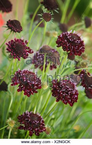 Scabiosa atropurpurea 'Chile Black', Scabious, Purple. - Stock Photo
