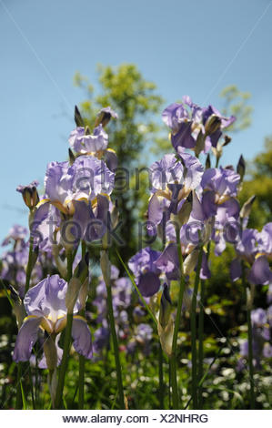 Iris barbata-elatior - Stock Photo