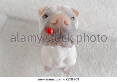 shar-pei dog with a lady bug on it's nose - Stock Photo