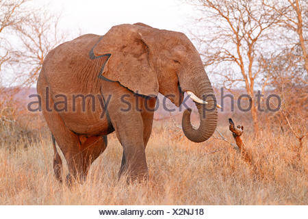 African elephant (Loxodonta africana), standing in savanna, South Africa, Krueger National Park - Stock Photo