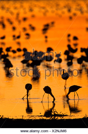 Lesser Flamingo (Phoenicopterus minor) flock in water, Kimberley, Northern Cape, South Africa, Africa - Stock Photo