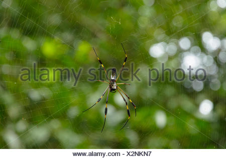 Golden Silk Orbweaver (Nephila clavipes) on the web, Puntarenas Province, Costa Rica - Stock Photo
