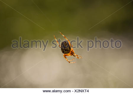 Araneus diadematus, Cross Orbweaver - Stock Photo