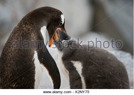 An adelie penguin, Pygoscelis adeliae, feeds its young chick. - Stock Photo