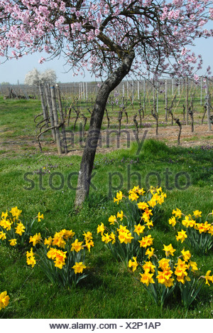 bitter almond (Prunus amygdalus), with daffodils and vineyard in background, Germany, Rhineland-Palatinate, Palatinate, German Wine Route - Stock Photo