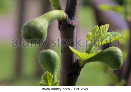 Young figs - Stock Photo