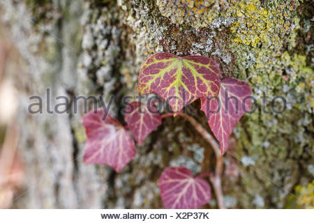 Common ivy, Hedera helix, at bark - Stock Photo