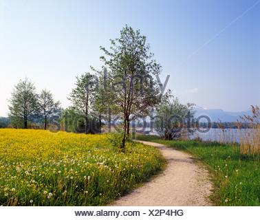 Dandelion meadow on Lake Chiemsee, Upper Bavaria, Germany, Europe - Stock Photo