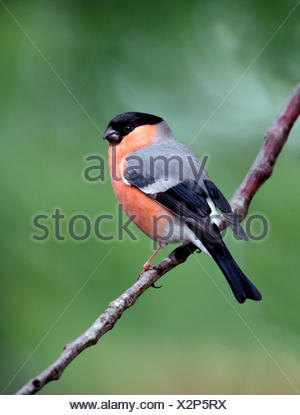 Bullfinch Pyrrhula pyrrhula - Stock Photo