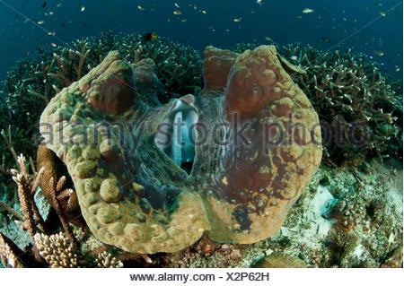Giant clam (Tridacna gigas) Raja Ampat, West Papua, Indonesia. - Stock Photo