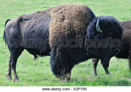 Bison bull - Stock Photo