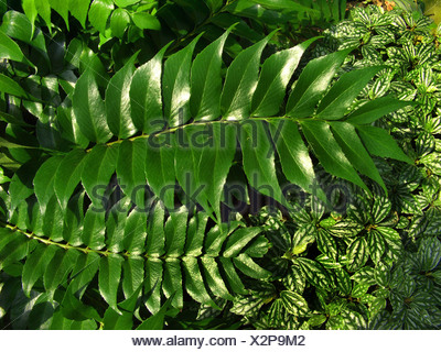 Japanese Holly Farn (Cyrtomium falcatum, Polysticum falcatum), leaf - Stock Photo