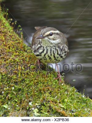 Northern Waterthrush, Parkesia noveboracensis, standing in a pond at Pike Lake, Saskatchewan - Stock Photo