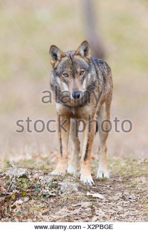 Italian Wolf (Canis lupus italicus), captive animal standing on the ground, Civitella Alfedena, Abruzzo, Italy - Stock Photo