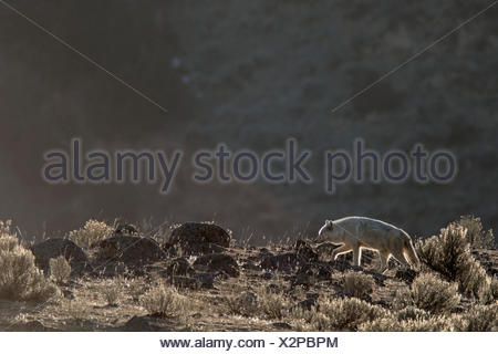 A female gray wolf, from the Canyon Wolf Pack, on the move  in Wyoming's Yellowstone National Park. - Stock Photo