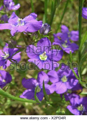 large venus's-looking-glass (Legousia speculum-veneris), blooming, Germany, Hesse - Stock Photo