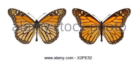 Monarch - Danaus plexippus - male (right) - female (left) - Stock Photo