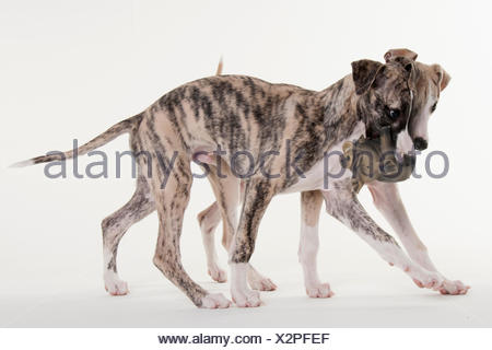 Whippet, puppies, male dogs, 12 weeks - Stock Photo