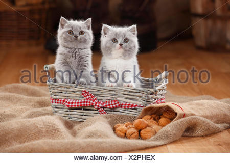 British Shorthair Cat, kittens, in basket - Stock Photo