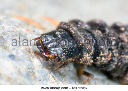 common cantharid, common soldier beetle (Cantharis fusca), head of the larva, Germany, Bavaria, Niederbayern, Lower Bavaria - Stock Photo