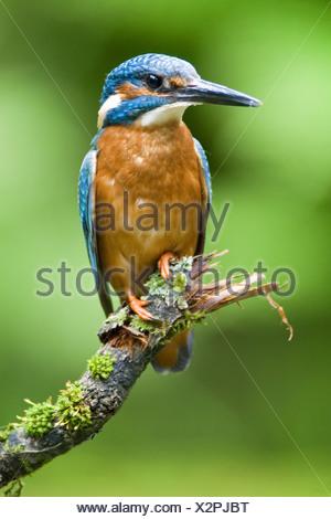 common kingfisher on twig / Alcedo atthis - Stock Photo