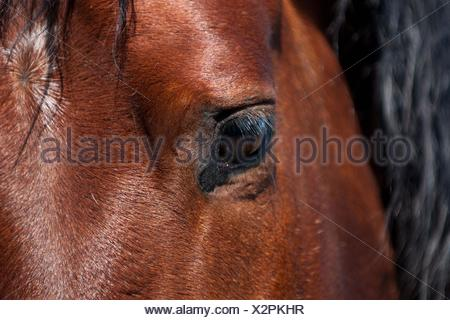 Pura Raza Espanola eye - Stock Photo