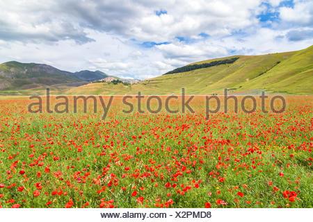 Poppies blooming in Castelluccio plain, Castelluccio di Norcia, Umbria, Italy. - Stock Photo