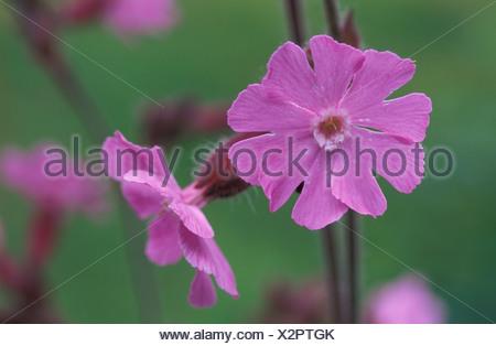 Plant CARYPHYLLACEAE Silene so - Stock Photo