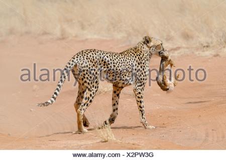 Africa, Kenya, Samburu National Reserve, Cheetah (Acinonyx jubatus) carries a hunted rabbit in its mouth back to its cubs - Stock Photo