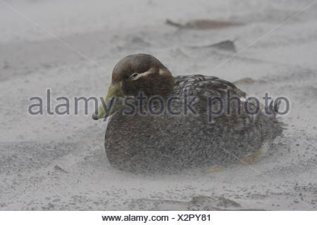 Falkland Flightless Steamerduck (Tachyeres brachypterus) adult female, sitting out sand-storm, Falkland Islands - Stock Photo