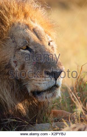 Portrait of a male lion (Panthera leo). Okavango Delta, Botswana, Africa. - Stock Photo
