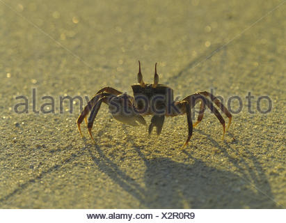 Beach, mind crab, Ocypode spec., Sand, sandy soil, animal, crab, wild animal, mind crab, ghost's crab, light, shade, - Stock Photo