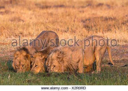 Three lions, Panthera leo, drinking at sunset. - Stock Photo