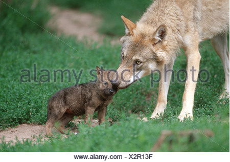 European gray wolf (Canis lupus lupus), mother sniffing on puppy - Stock Photo
