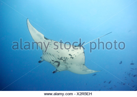 Giant manta ray swimming in ocean - Stock Photo