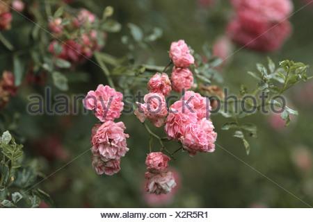 ornamental rose (Rosa 'Dorothy Perkins', Rosa Dorothy Perkins), blooming - Stock Photo