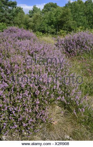 Heather - Calluna vulgaris - Stock Photo