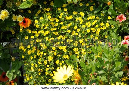Mecardonia procumbens - Stock Photo