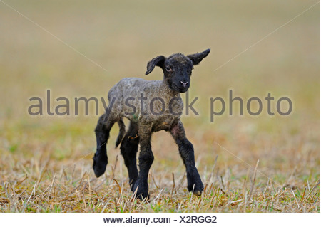 Suffolk (Ovis ammon f. aries), lamb running in a field - Stock Photo