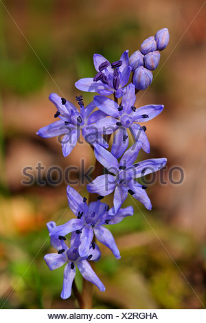 twin-leaf squill (Scilla bifolia), inflorescence, Germany, Baden-Wuerttemberg - Stock Photo