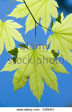Vine maple leaves at Riggs Lake, Willamette National Forest, OR - Stock Photo