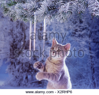 British Shorthair kitten - playing with icicles - Stock Photo