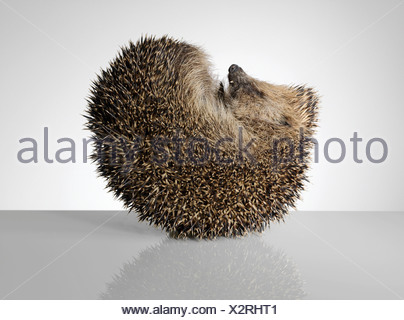 Hedgehog, curled up - Stock Photo