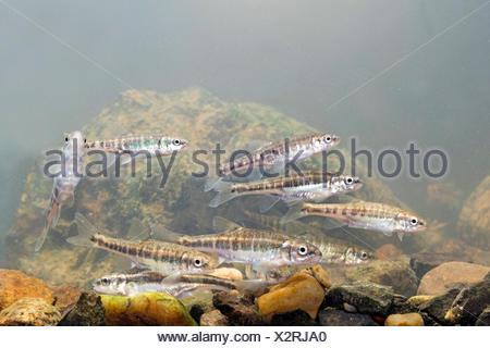 School of minnows swimming above a rocky bottom - Stock Photo