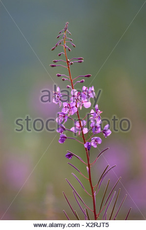 fireweed, blooming sally, rosebay willow-herb, great willow-herb (Epilobium angustifolium, Chamaenerion angustifolium), inflore - Stock Photo