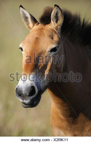 Semi wild Przewalski horse portrait (Equus ferus przewalskii), Parc du Villaret, Causse Mejean, Lozere, France - Stock Photo