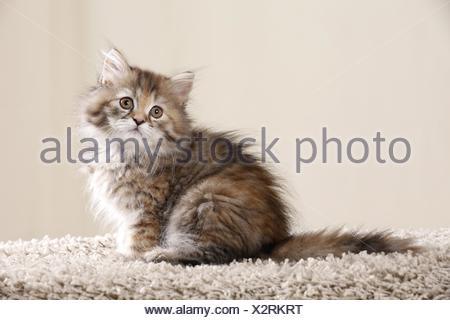 Highlander kitten - Stock Photo