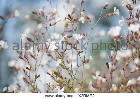 Campion, Lychnis flos-jovis. Side view of many slender stems with white flowers and pink calyxes against pale blue background. - Stock Photo
